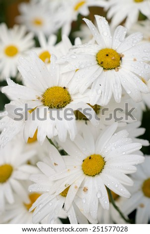 bouquet of chamomiles with raindrops and insects - stock photo