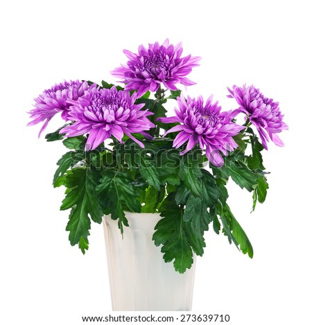 Bouquet of chrysanthemums in flower pot isolated on white background. Closeup. - stock photo
