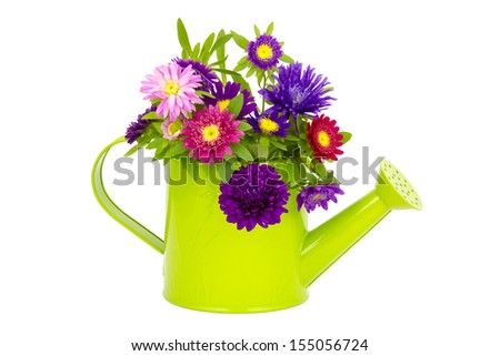 Bouquet of colorful asters flowers in a watering can on white background