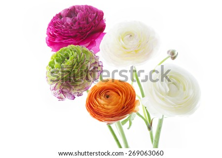 Bouquet of colorful Ranunculus asiaticus flowers isolated on white background - stock photo