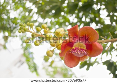 Bouquet of Couroupita guianensis or cannonball flower with blur leaves background.
