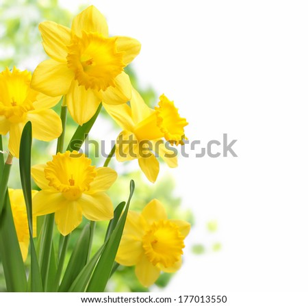 Bouquet of daffodil flowers - stock photo
