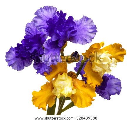 Bouquet of flowers blooming iris yellow and purple isolated on white background - stock photo