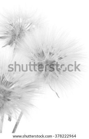 Bouquet of fluffy dandelions close-up on white background. Black and white image,  high key. Shallow DOF, focus on middle flower. - stock photo