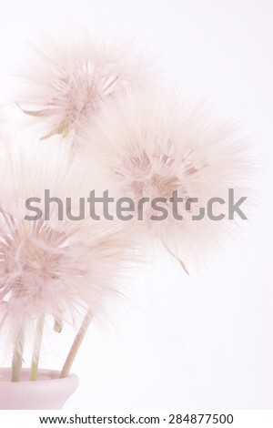 Bouquet of fluffy dandelions in vase close-up on light background (non isolated). Pink toned image,  high key. Shallow DOF, focus on middle flower. - stock photo