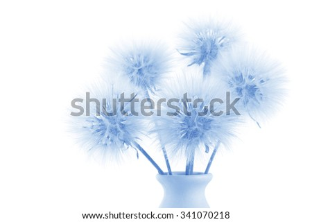 Bouquet of fluffy dandelions on white background. Blue toned image. Shallow DOF, focus on front flowers. - stock photo