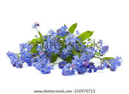 Bouquet of forget-me-not on white background