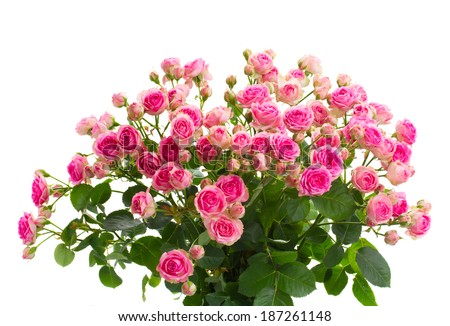bouquet  of fresh pink roses close up isolated on white background - stock photo