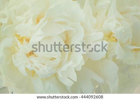 Bouquet of fresh white peony flowers macro background, retro toned - stock photo
