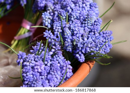 Bouquet of Grape hyacinth in vase. - stock photo