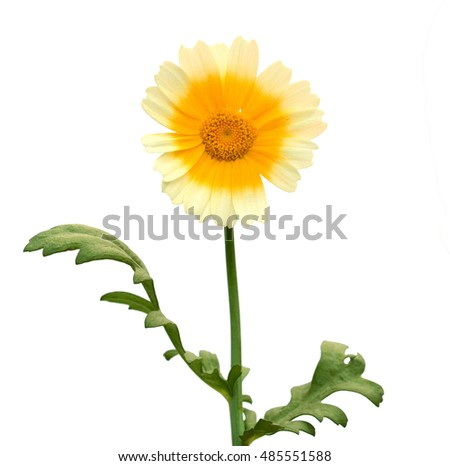Bouquet of large white daisies isolated on a white background