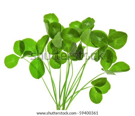 bouquet of leaves clover isolated on white  background - stock photo