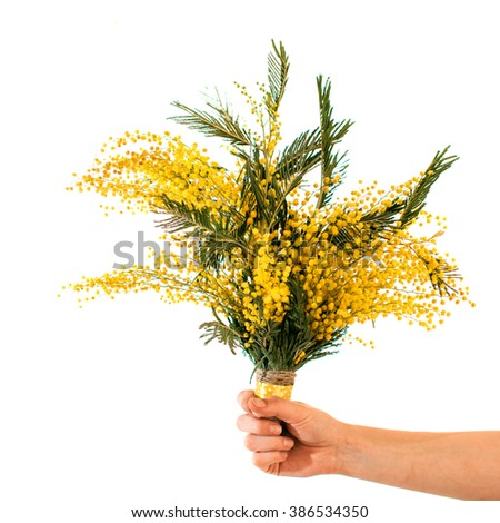 Bouquet of mimosa flowers, isolated on white - stock photo