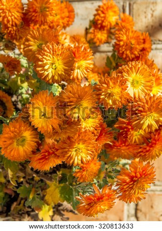 Bouquet of orange autumn chrysanthemums on a sunny day. Selective focus