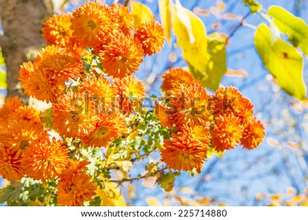 Bouquet of orange chrysanthemums on a sunny autumn day, the background is blurred