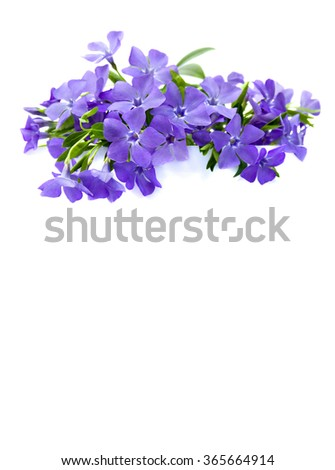Bouquet of periwinkle on white background with space for text