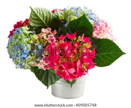 bouquet of pink and blue hortensia flowers in pot isolated on white background - stock photo