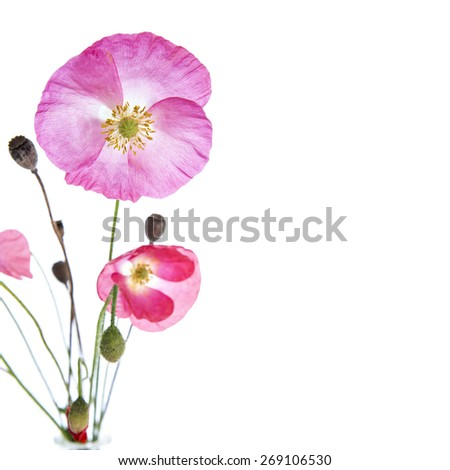 Bouquet of pink and red poppy flowers isolated on white background - stock photo
