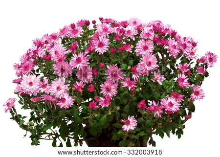 Bouquet of pink flowers of chrysanthemums isolated on white background - stock photo