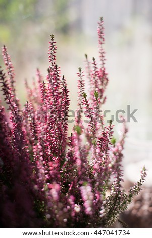Bouquet of pink heather on the daylight window background - stock photo