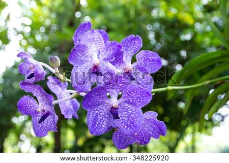 Bouquet of purple orchids.Vanda Coerulea Flower - stock photo