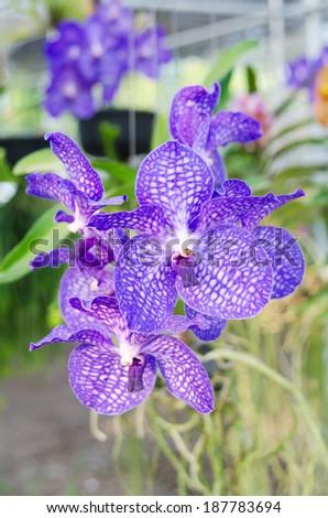 Bouquet of purple vanda orchids - stock photo