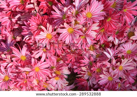 Bouquet of red autumn chrysanthemum, close up - stock photo