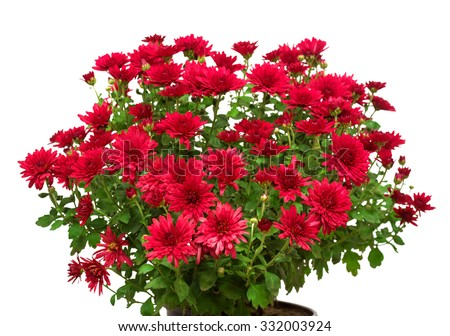 Bouquet of red flowers of chrysanthemums isolated on white background - stock photo