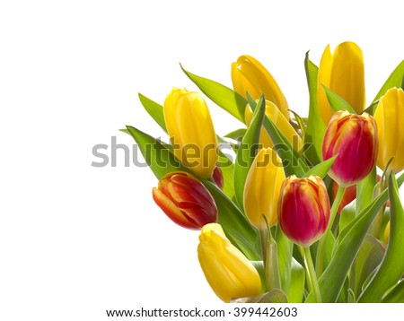Bouquet of red tulips on a white background. Space for text.