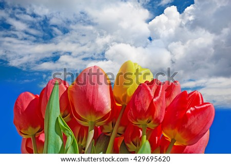 Bouquet of red tulips on the background of the spring sky and clouds.