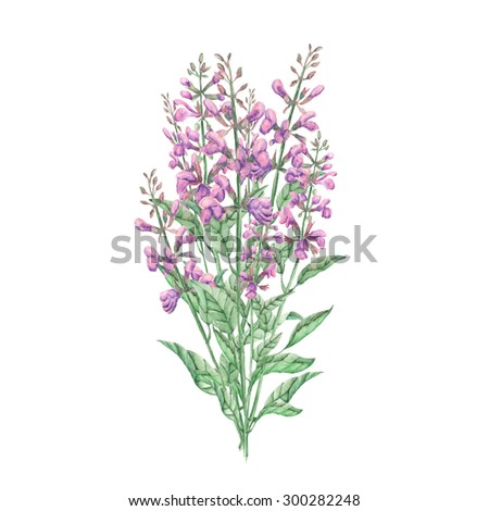 Bouquet of salvia painted in watercolor on white background - stock photo