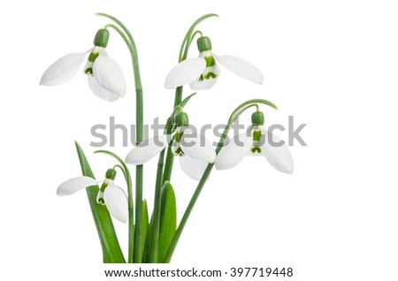 Bouquet of snowdrops, isolated on white - stock photo