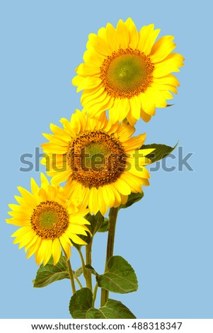 Bouquet of sunflower closeup on a blue background. Beautiful flower. Agriculture. Seeds. Flat lay, top view