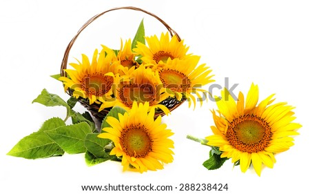 bouquet of sunflowers in a basket - stock photo