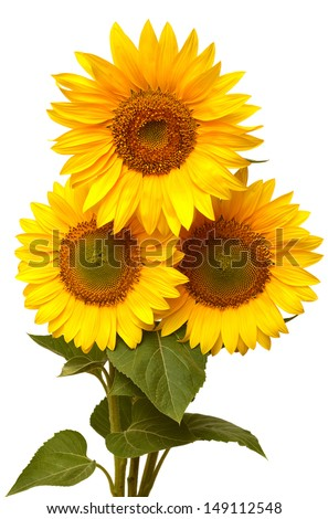 Bouquet of sunflowers isolated on white background - stock photo