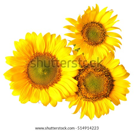 Bouquet of sunflowers isolated on white background. Flat lay, top view. Flower.