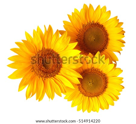 Bouquet of sunflowers isolated on white background. Flat lay, top view. Flowers.
