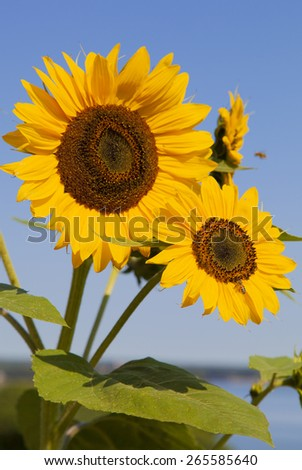 Bouquet of sunflowers with bees in Portland public park (Maine). - stock photo