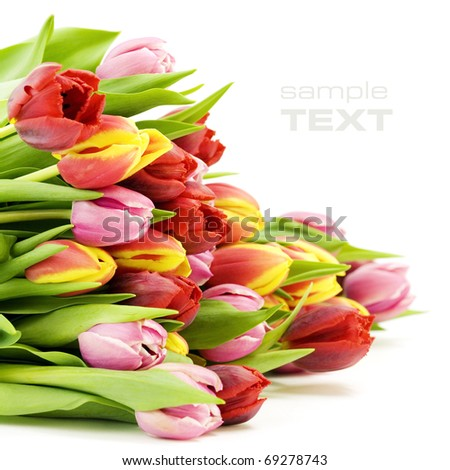 bouquet of the fresh tulips on white background with sample text - stock photo