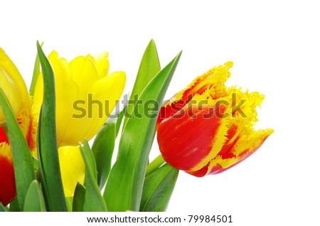 bouquet of the tulips on white background - stock photo