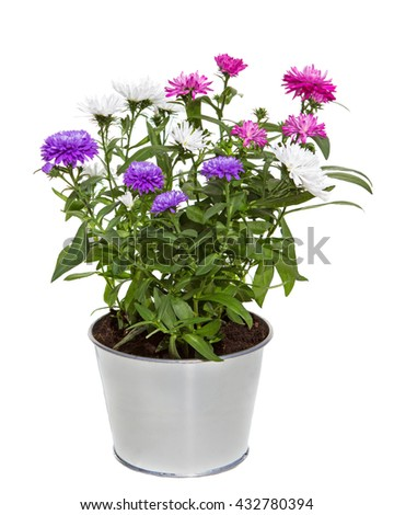Bouquet of three colors Aster Flowers in a silver metal flowerpot for inside and otside decoration on white background. - stock photo