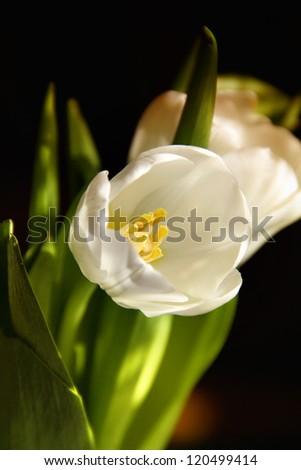 Bouquet of tulip in vase of - stock photo