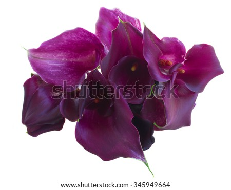 bouquet of  violet Calla lilly flowers isolated on white background - stock photo