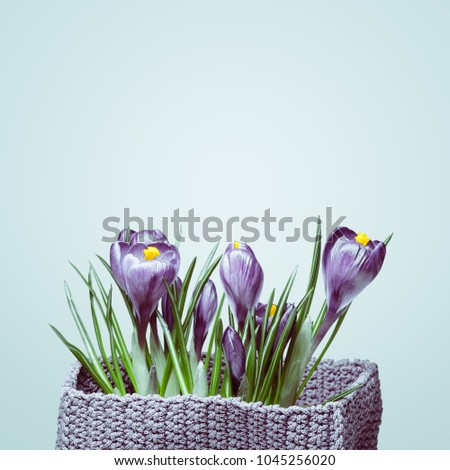 Bouquet of violet crocuses on a white background. The first spring flowers. Color Tinting