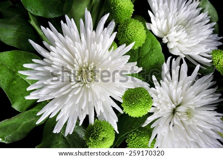 Bouquet of white asters and bright green chrysanthemums on dark background - stock photo