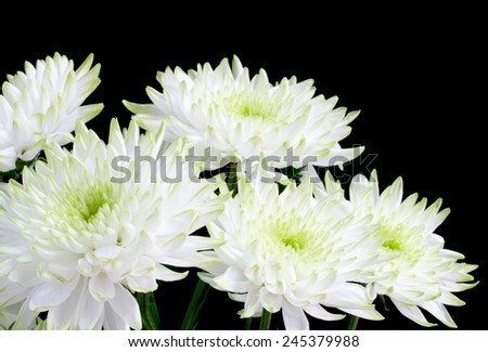 Bouquet of white chrysanthemum flowers on black - stock photo