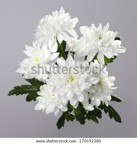 bouquet of white chrysanthemum on gray background - stock photo