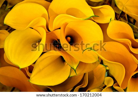 Bouquet of yellow calla lilies. Floral pattern. - stock photo