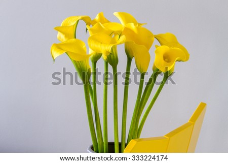 Bouquet of yellow calla lily on yellow wooden chair over light grey background - stock photo