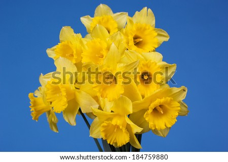 Bouquet of yellow daffodils - stock photo